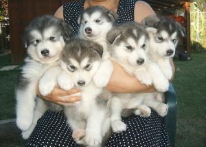 Хотите купить щенка - узнайте о породе: хаски