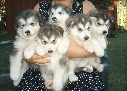 собаки мини купить: