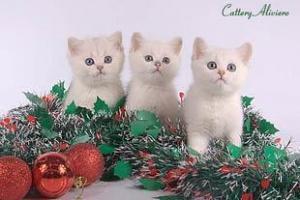 Кого выбрать щенка или британского котёнка?