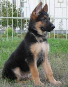 Немецкая овчарка - настоящая собака