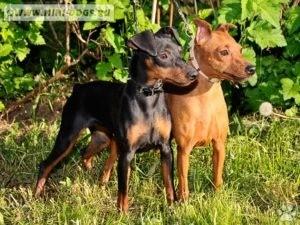 Карликовый пинчер и другие собачки карликовых пород: верность в истинном смысле