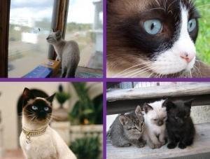 Красивые сиамские кошки