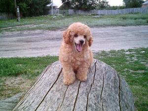 щенок карликового пуделя