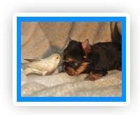 Фотосъёмка животных, профессиональная фотосъёмка животных, фотосъёмка собак на выставках, постановочная фотосъёмка животных, фотосъёмка щенков, фотосъёмка щенков йорка, фотографии йорков, фото щенков йорка