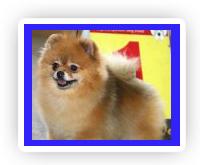 Купить щенка померанского шпица, купить щенка шпица, купить шпица, купить щенка, купить карликового шпица, щенки померанского шпица, щенки шпица, щенки померанцев, щенок померанского шпица, щенки карликовых шпицев, щенок шпица. Папа наших щенков Монтик - привозной кобель из Чехии, но в своей родословной он имеет инбридинг 2 х 2 на суперпроизводителя ведущего питомника Канады Chriscendo Call to Arms - чемпиона Канады и США