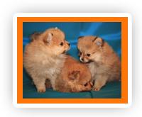 Купить щенка померанского шпица, купить щенка шпица, купить шпица, купить щенка, купить карликового шпица, щенки померанского шпица, щенки шпица, щенки померанцев, щенок померанского шпица, щенки карликовых шпицев, щенок шпица