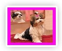Купить щенка бивер йоркширского терьера, купить щенка бивер йорка, купить бивера, купить бивер йорка, щенки бивер йоркширского терьера, щенок бивер йоркширского терьера, щенки бивер йорка, щенок бивер йорка, щенки бивера, щенок бивера