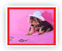 Купить щенка йоркширского терьера, купить щенка йорка, купить щенка, купить йорка, щенки йоркширского терьера, щенки йорка, щенок йорка, щенок йоркширского терьера