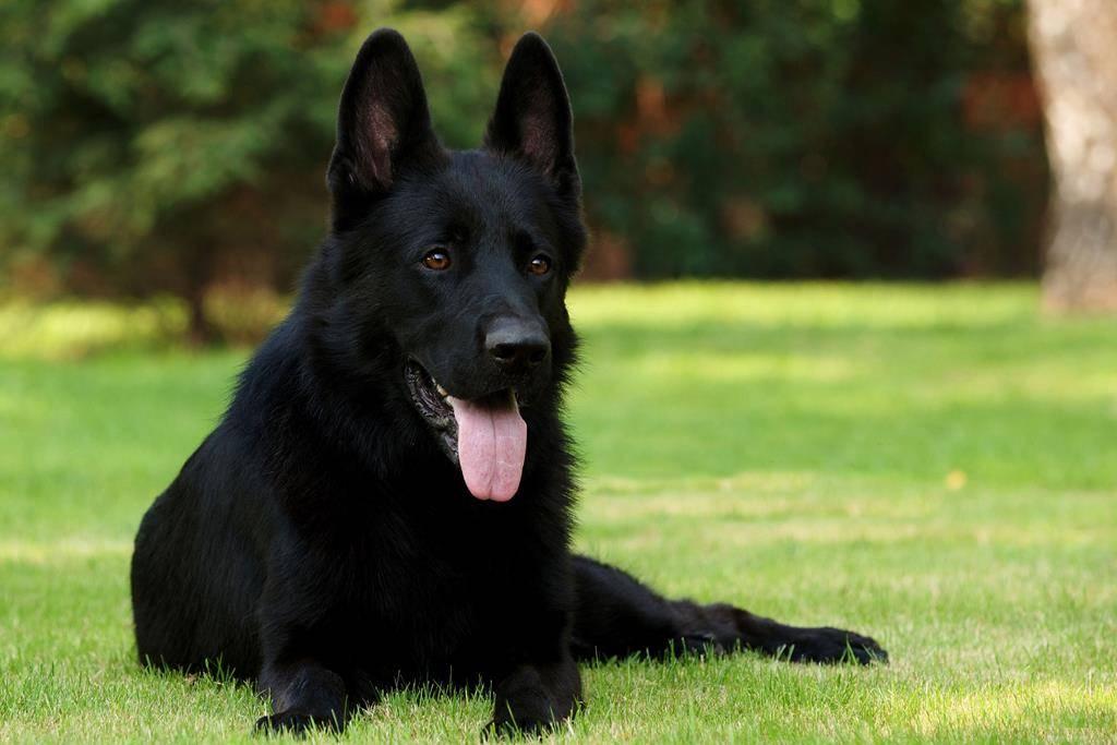 немец собака фото