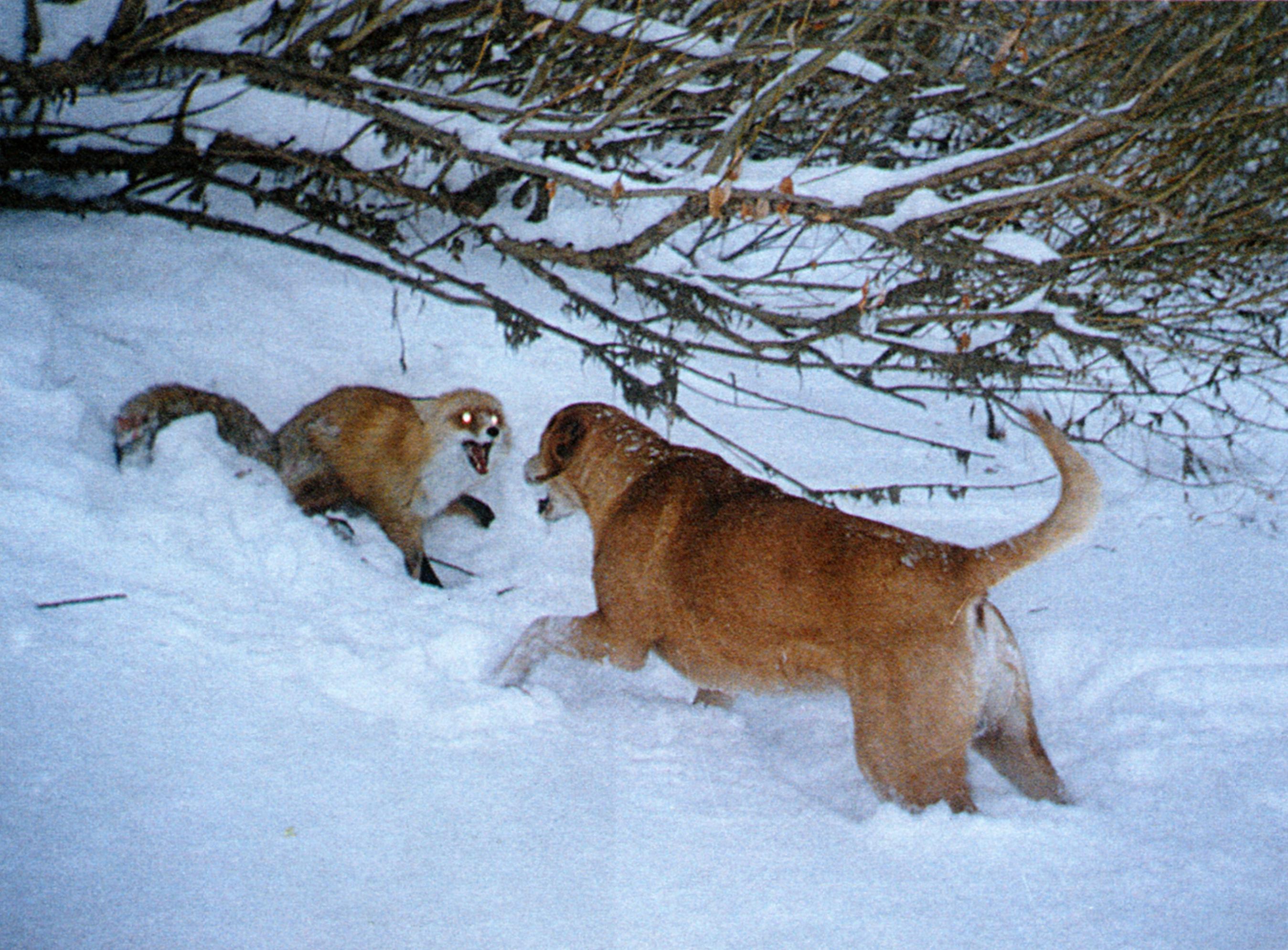 Русская гончая и лисица