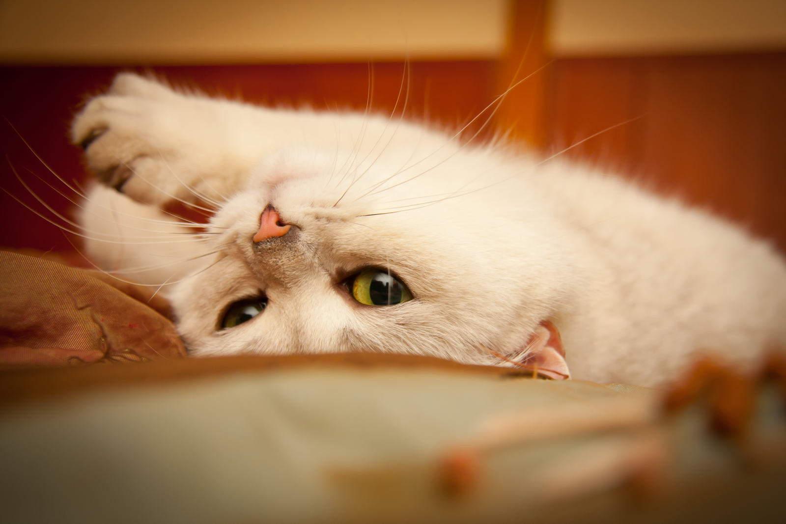 Течка у кошек сколько длится и как успокоить