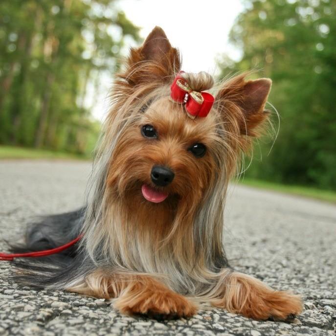 породы собак йоркширский терьер
