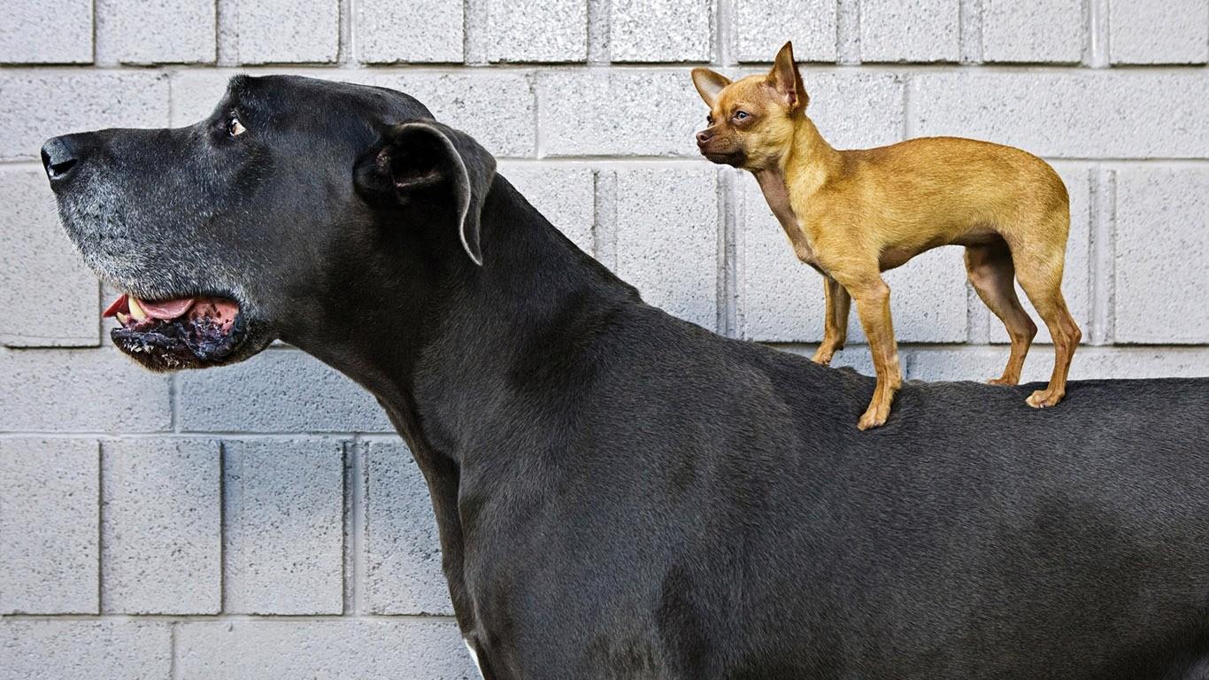 Большая и маленькая собаки
