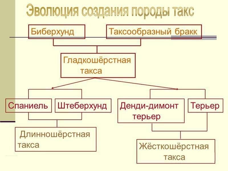 Эволюция создания породы такс