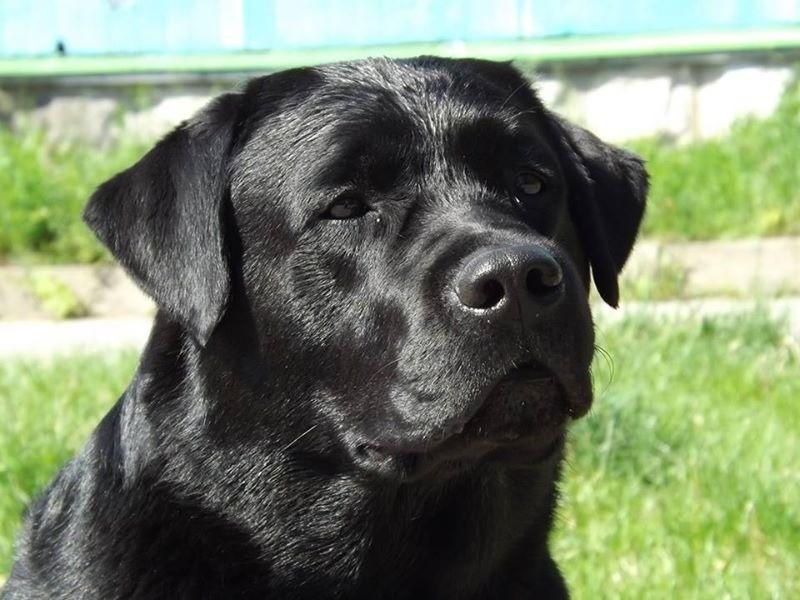 Labrador retriever puppy not eating