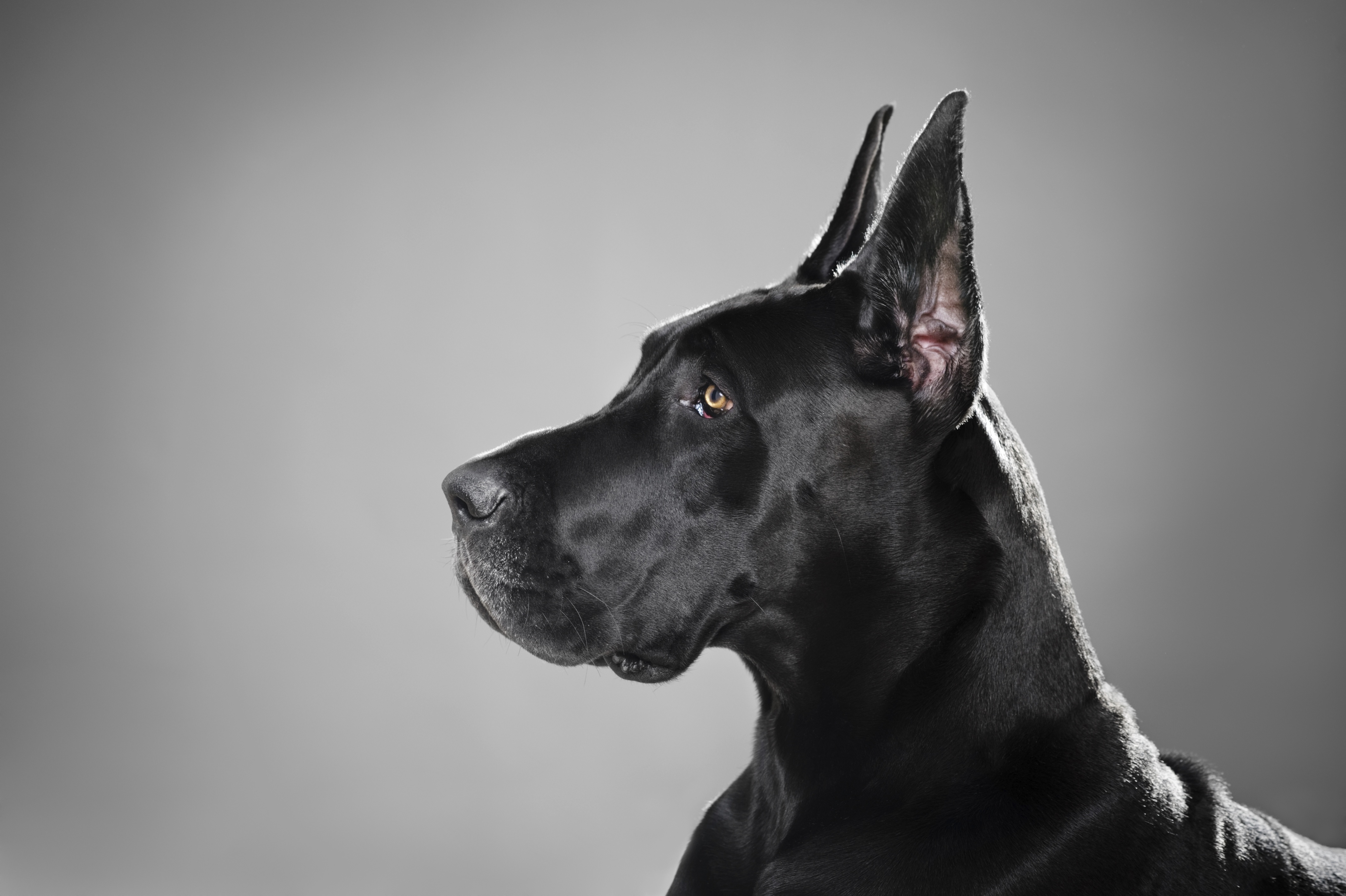 great dane Just nuisance, the great dane, remains the only dog to be officially enlisted in the navythe dog was born in the late 1930s and grew up in the united services institute there he befriended the.