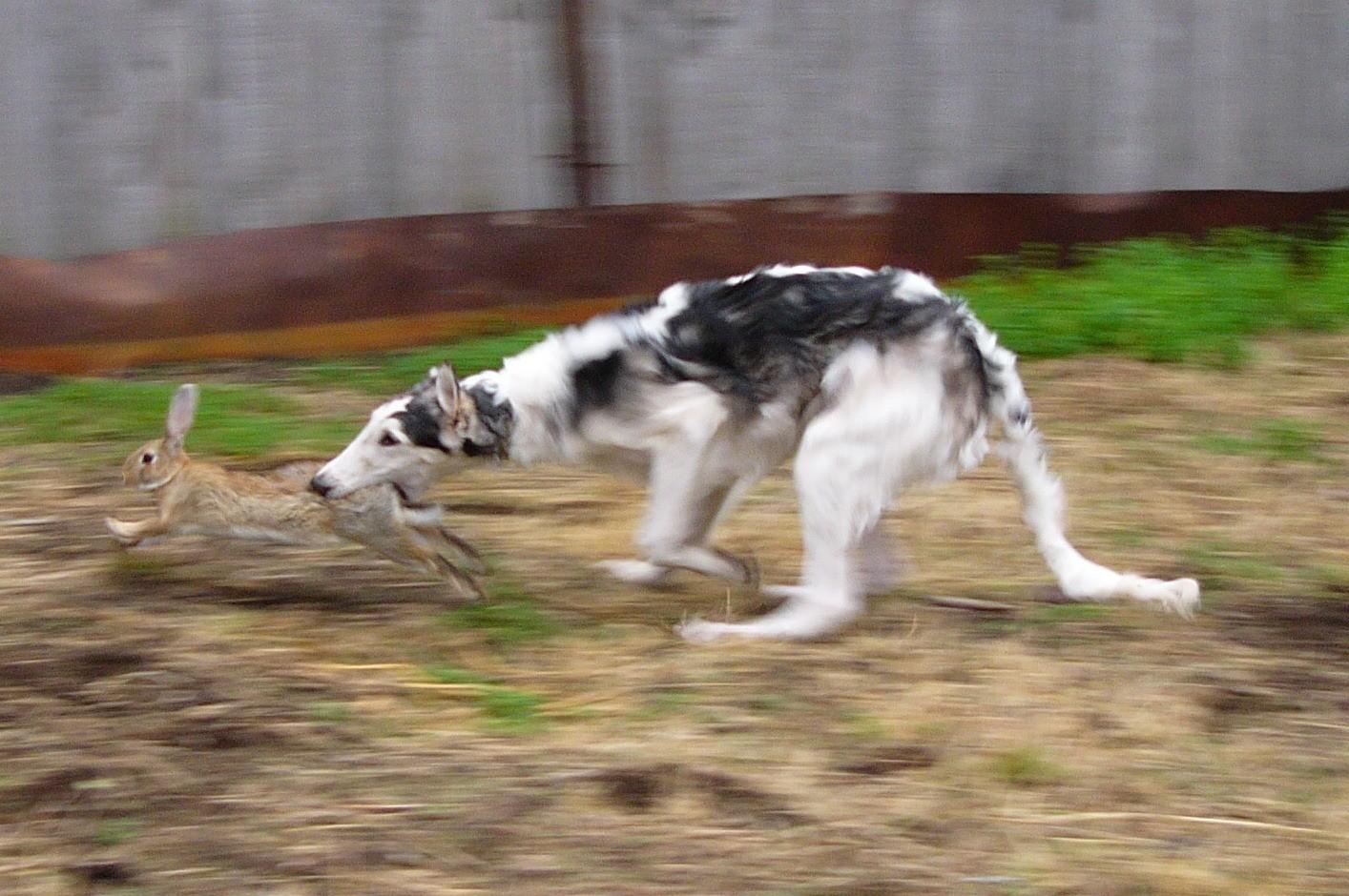 Охота с борзой собакой