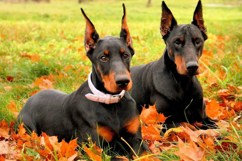 Аксессуары для собаки добермана