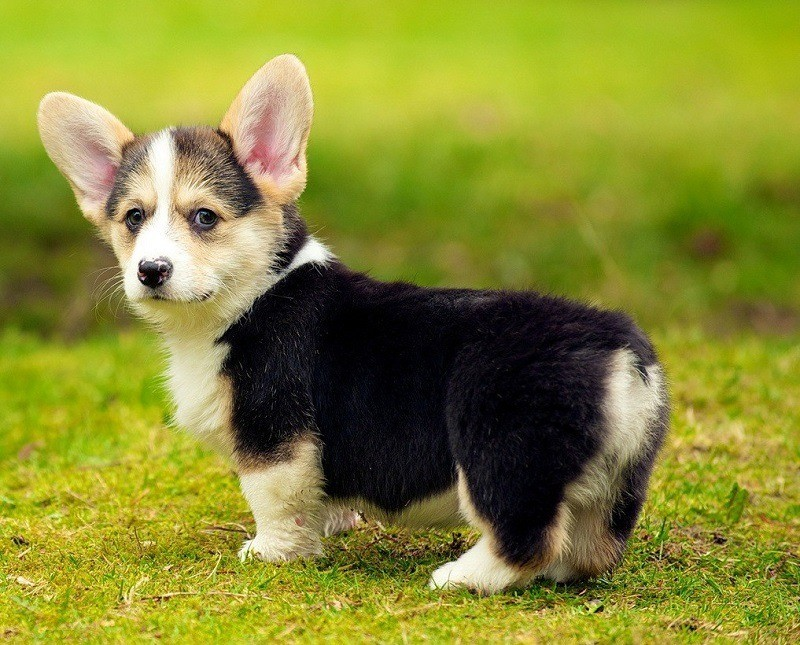 welsh corgi Pwc rescue network prepared by the pembroke welsh corgi club of america rescue committee breed rescue most pembroke welsh corgis come into rescue because of lack of attention, training or changes in the family situation.