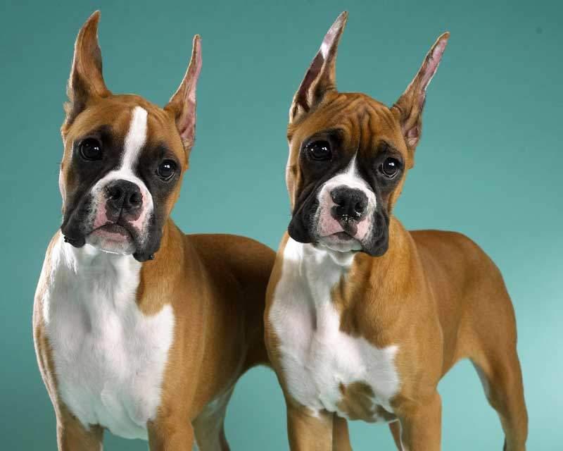 Порода собаки