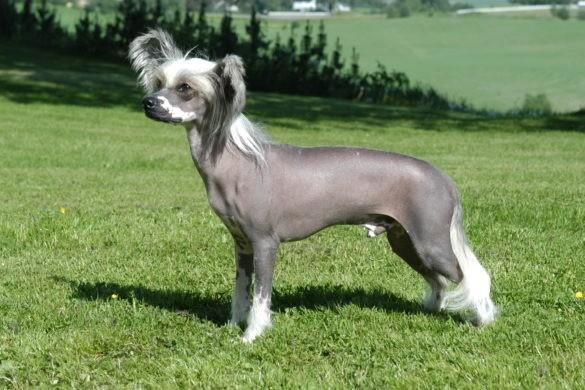 Китайская собака
