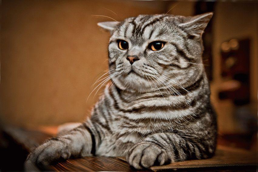 Кот мраморного окраса