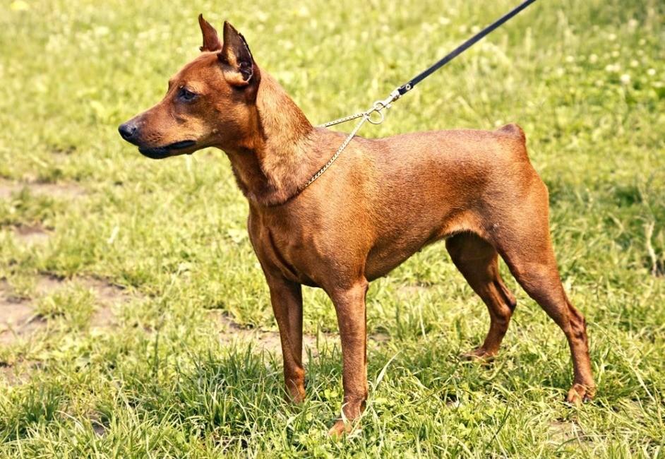 Фото собак породы пинчер карликовый