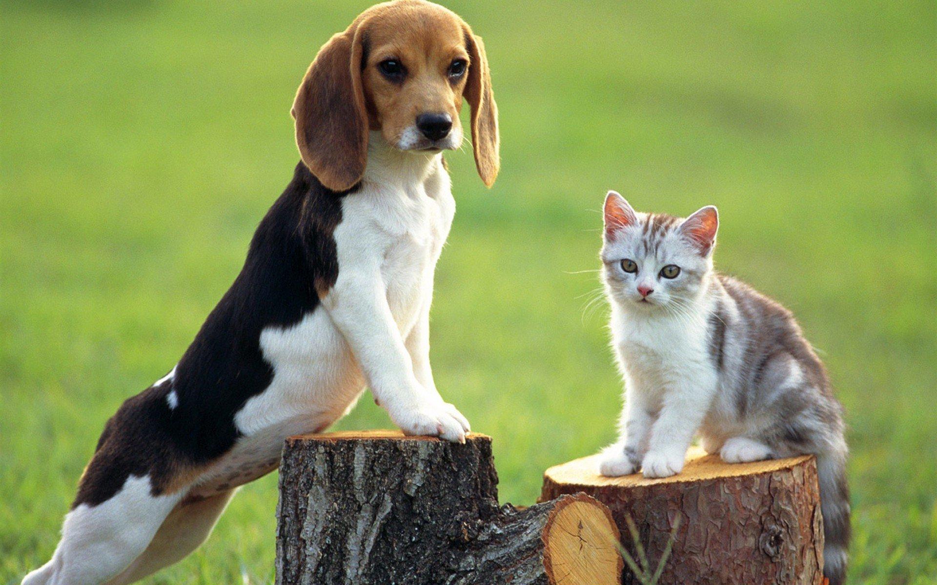 Бигль с котенком