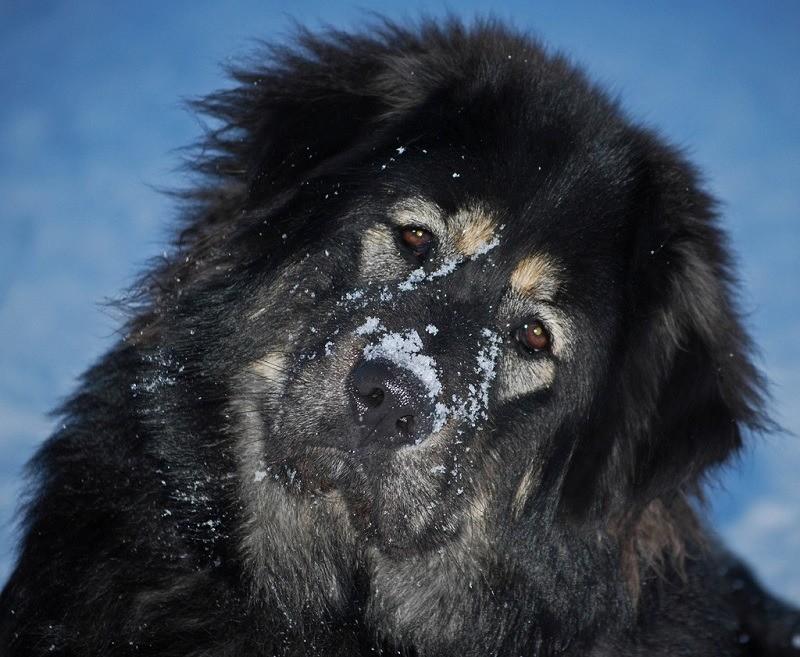 Фотография породы Тибетский Мастиф