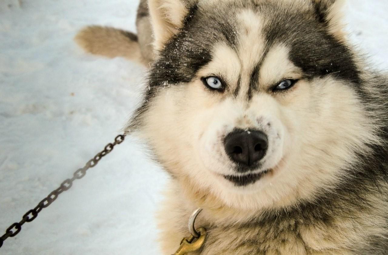 маламут собаки фото