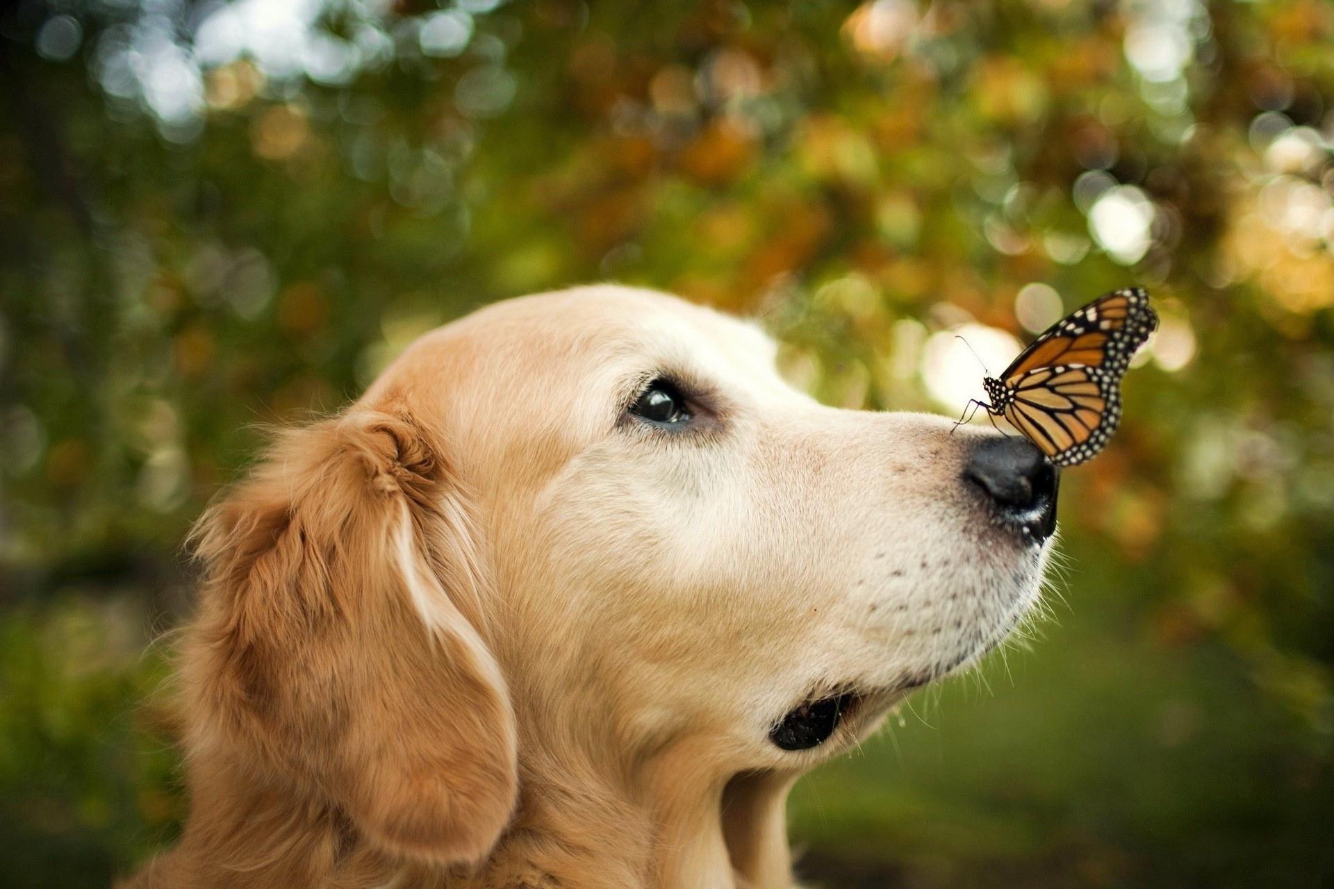 Характер собаки золотистый ретривер