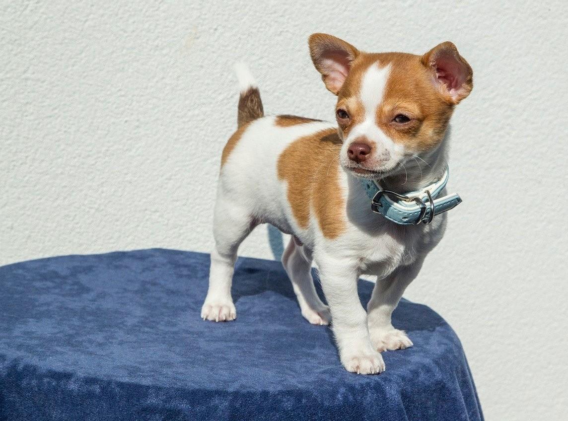 Приучение щенка чихуахуа