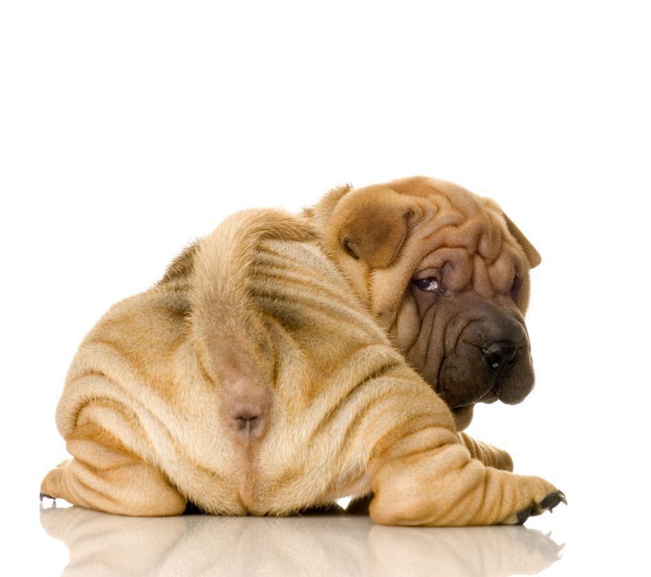 Приучение щенка к лотку