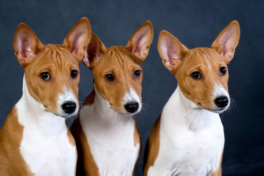 Щенки собаки басенджи