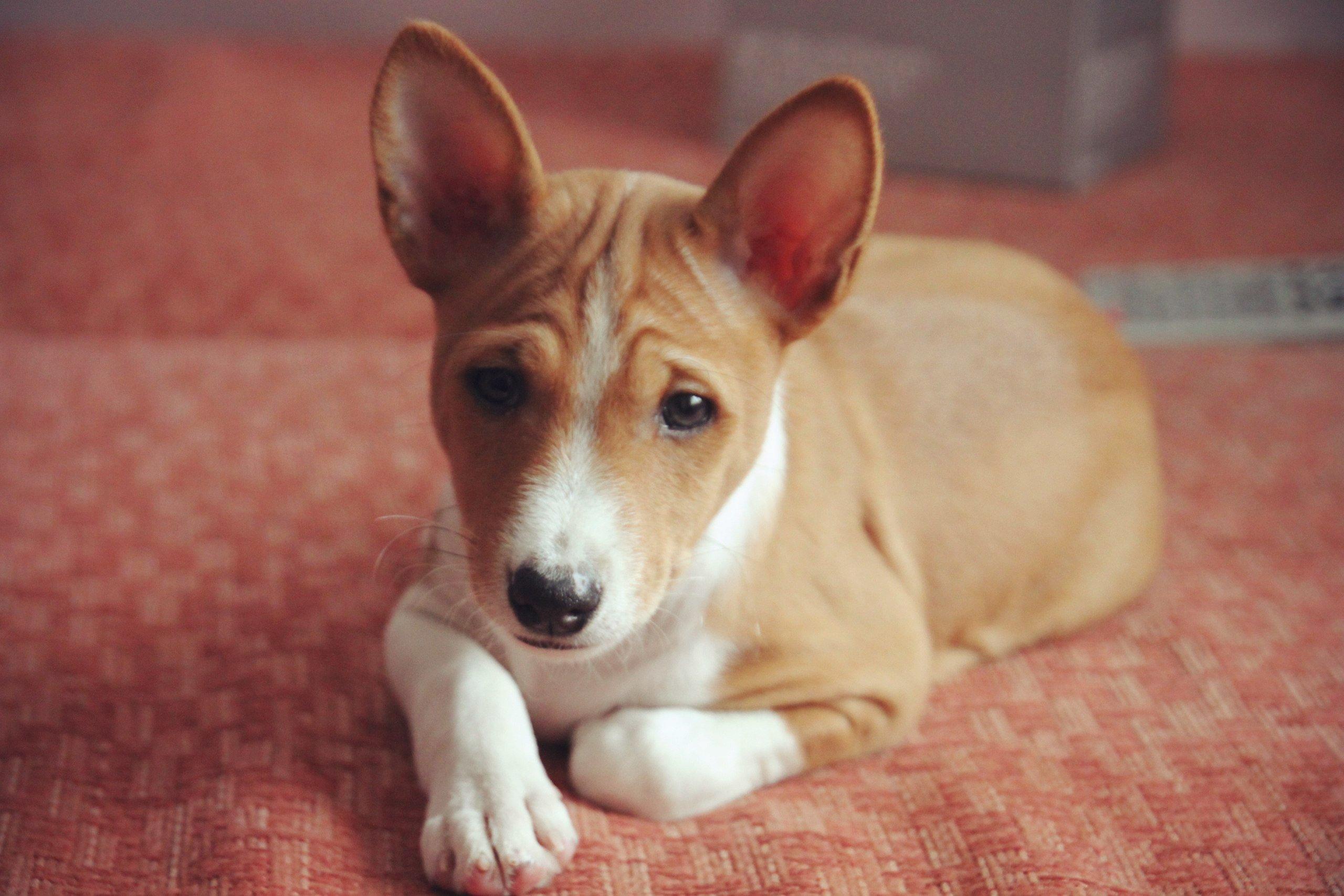 Нелающая порода собак басенджи - описание, характер, характеристика, фото басенджи и видео, цена