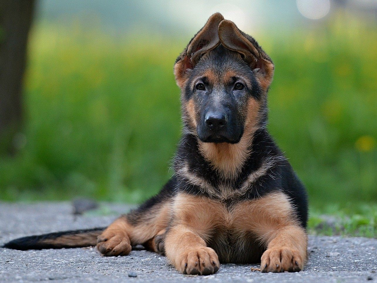 картинки собаки немецкая овчарка щенок