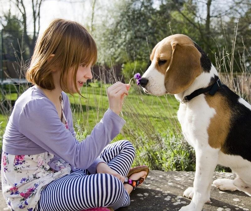 Собаки породы бигль и ребенок
