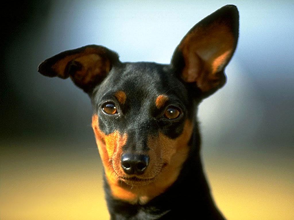 Внешность собаки