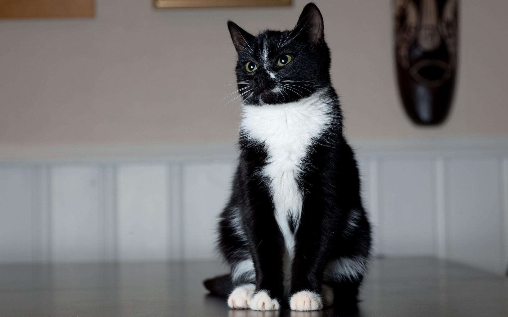 Чёрно-белая кошка