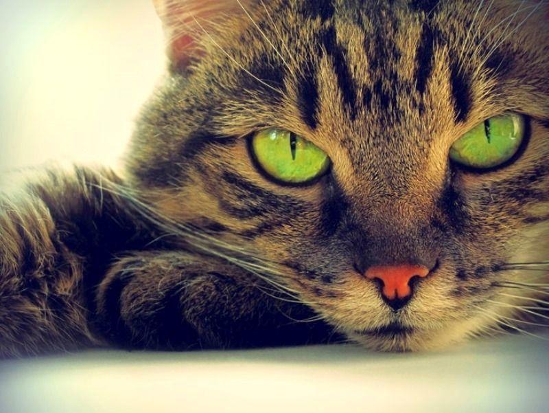 Кошачий поцелуй глазами