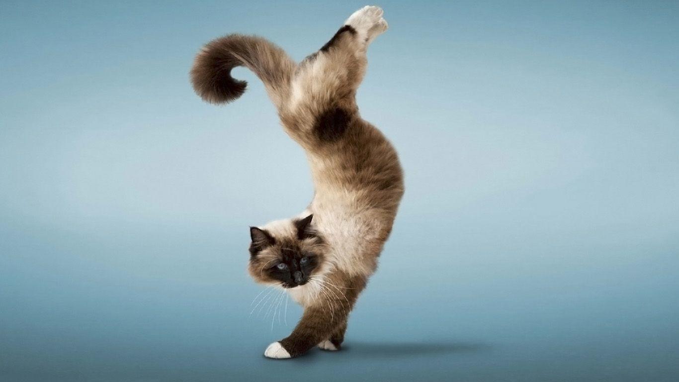 Кошка на передних лапах