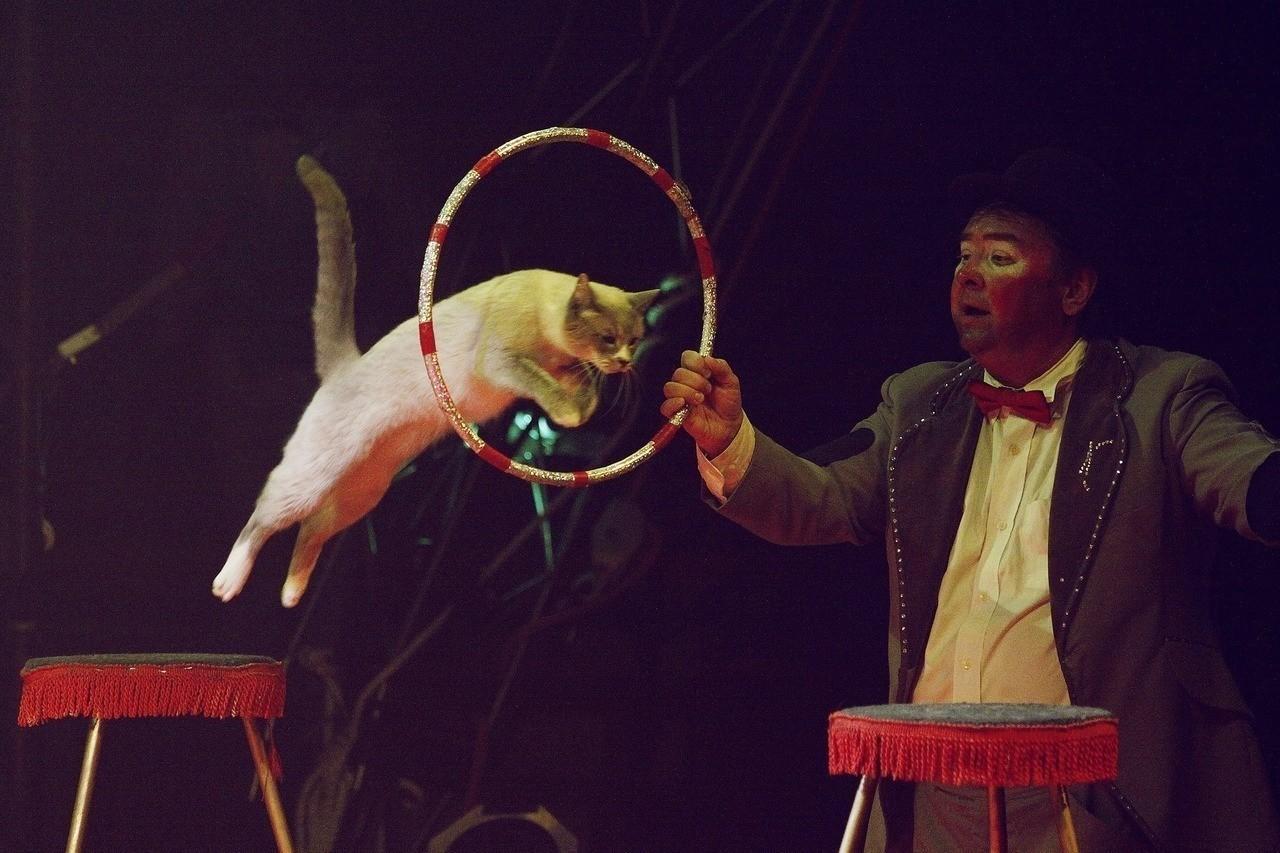 Кошка прыгает через обруч