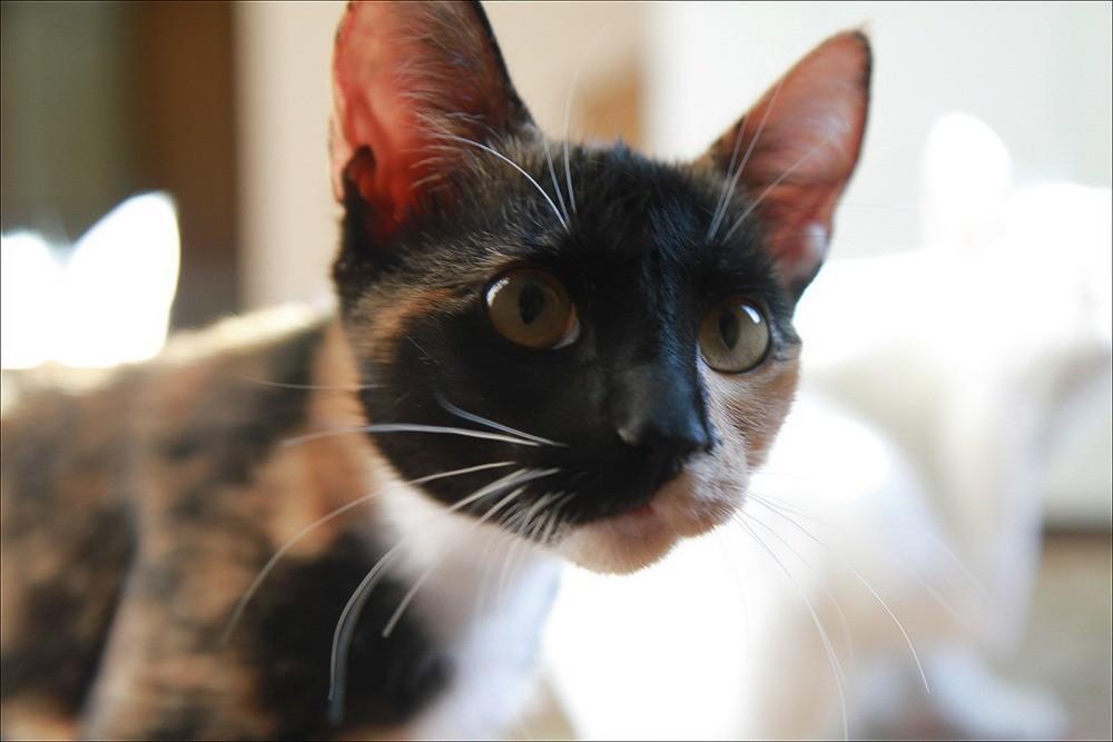 Третье веко у кошки
