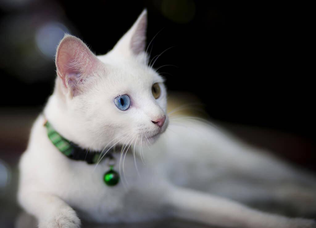 Трихиаз у кошки