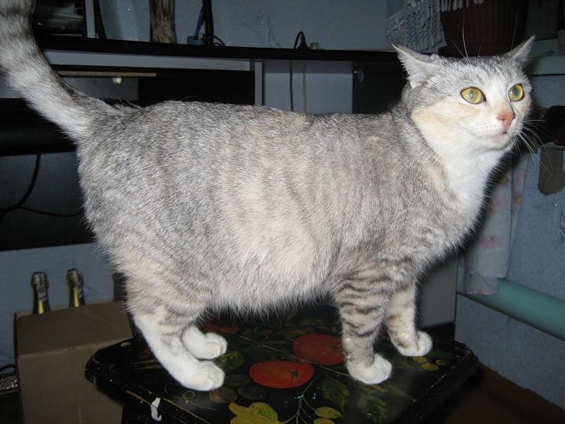Беременность у кошки может наступить в возрасте после 6 месяцев