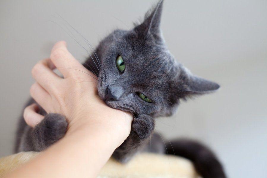 Человеку бешенство передается через укус заболевшего животного