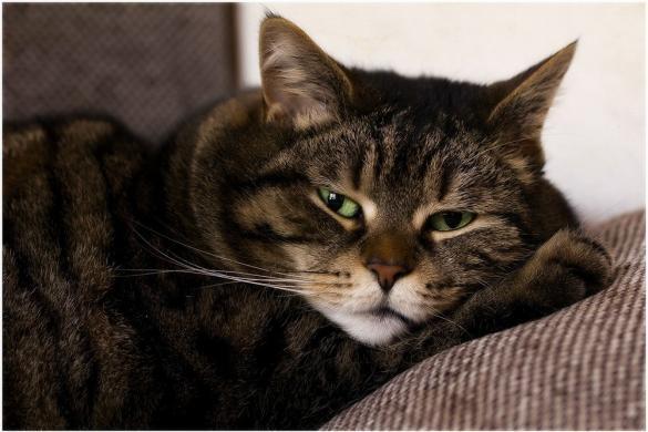 Болезнь печени у кошки