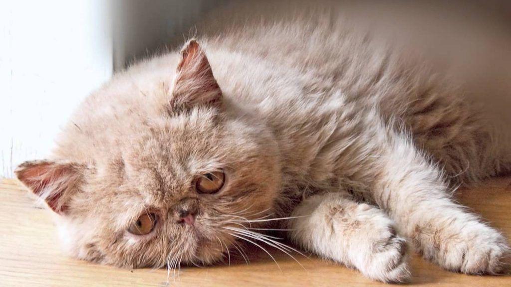 В старости кошка может заболеть сахарным диабетом