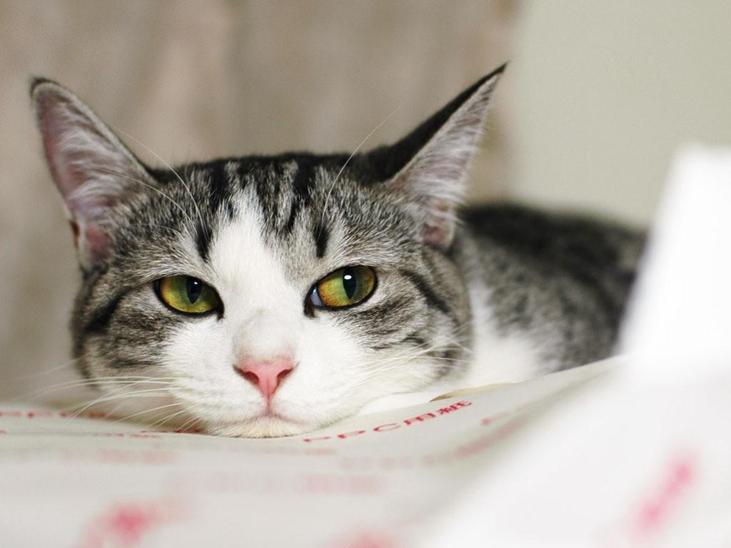 Вялость свидетельствует о проблемах со здоровьем у кошки