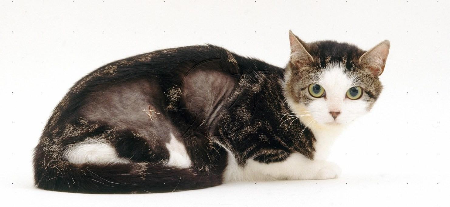 При экземе у кошек на отдельных участках выпадает шерсть